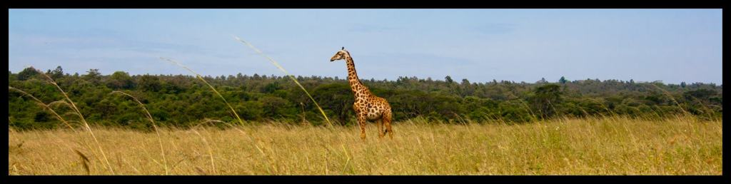 Giraffe at the Nairobi National Park