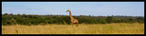 Giraffe at the Nairobi National Park